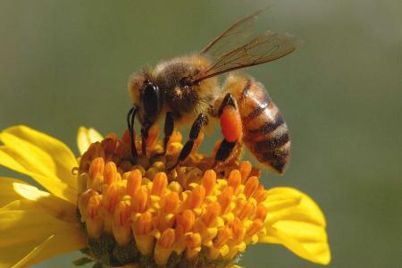 Μέλισσα στη γύρη