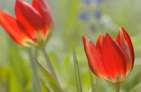 Η κόκκινη τουλίπα της Κρήτης (Tulipa doerfleri)