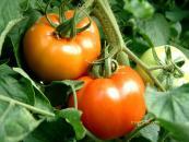 Τομάτες (αταξινόμητες)