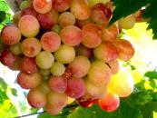 Φράουλα Σταφύλι