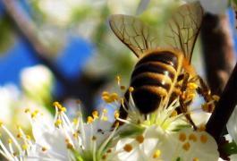 Μέλισσα πάνω σε λουλούδι
